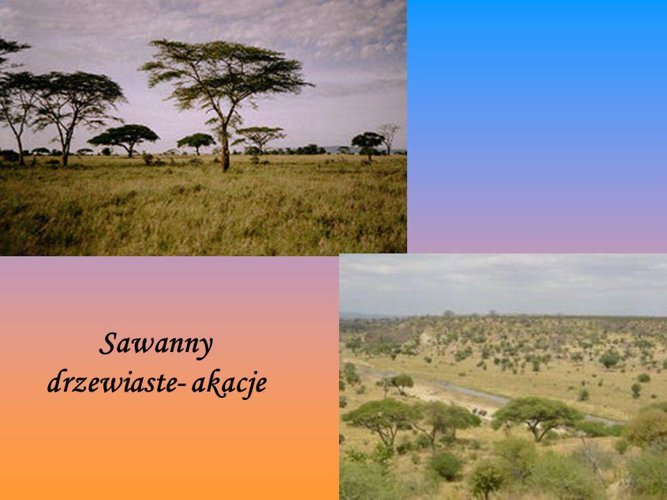 Sawanny drzewiaste- akacje Sawanna drzewiasta- akacje