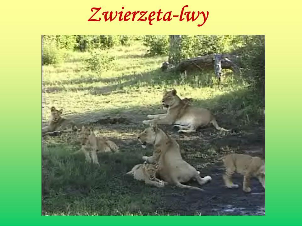 Zwierzęta-lwy