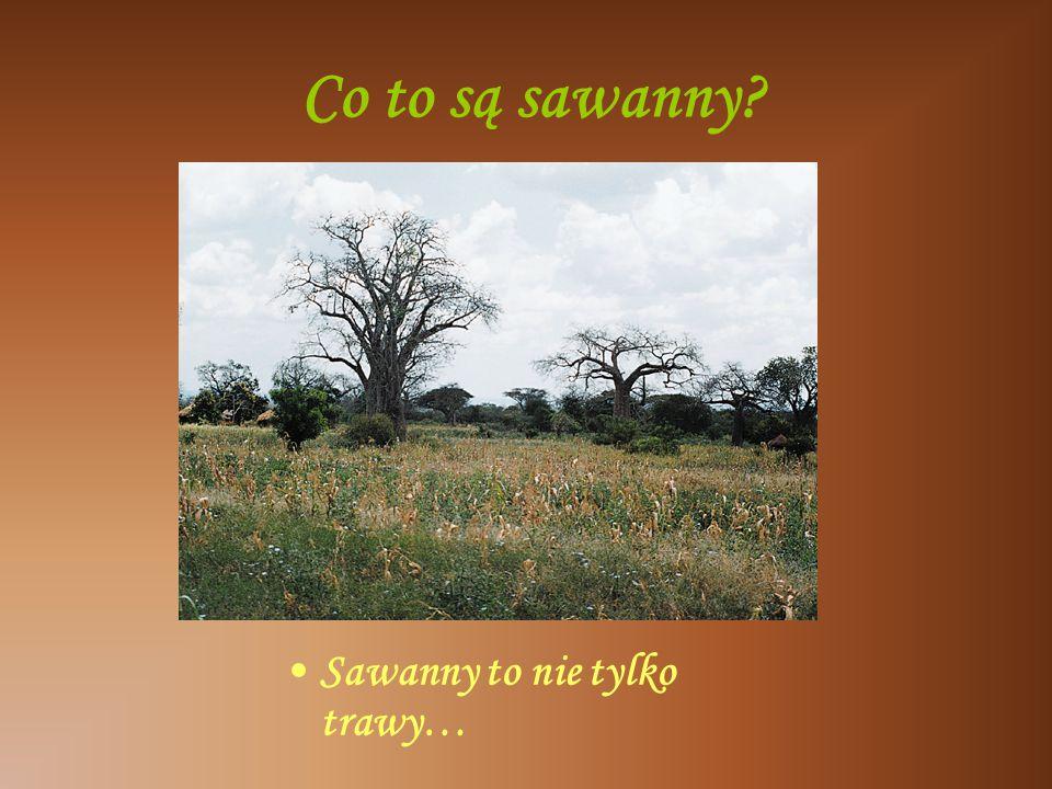 Co to są sawanny? Sawanny to nie tylko trawy…