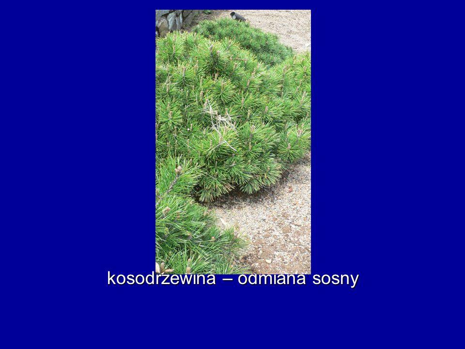 kosodrzewina – odmiana sosny