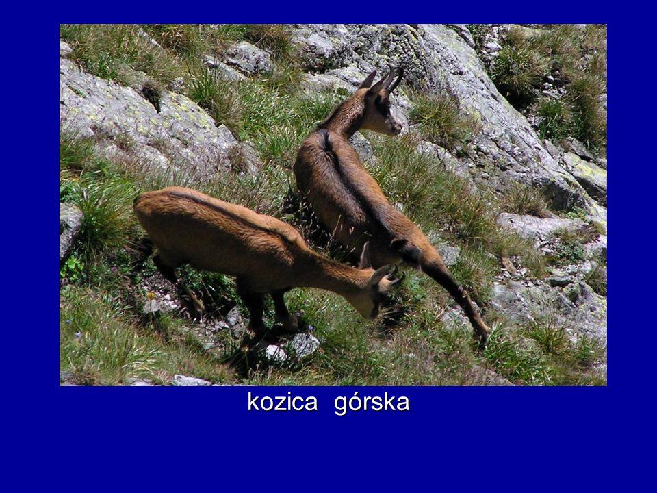 kozica górska