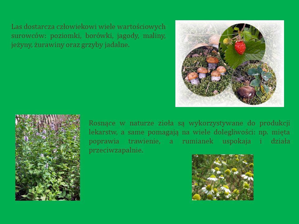 Las dostarcza człowiekowi wiele wartościowych surowców: poziomki, borówki, jagody, maliny, jeżyny, żurawiny oraz grzyby jadalne.