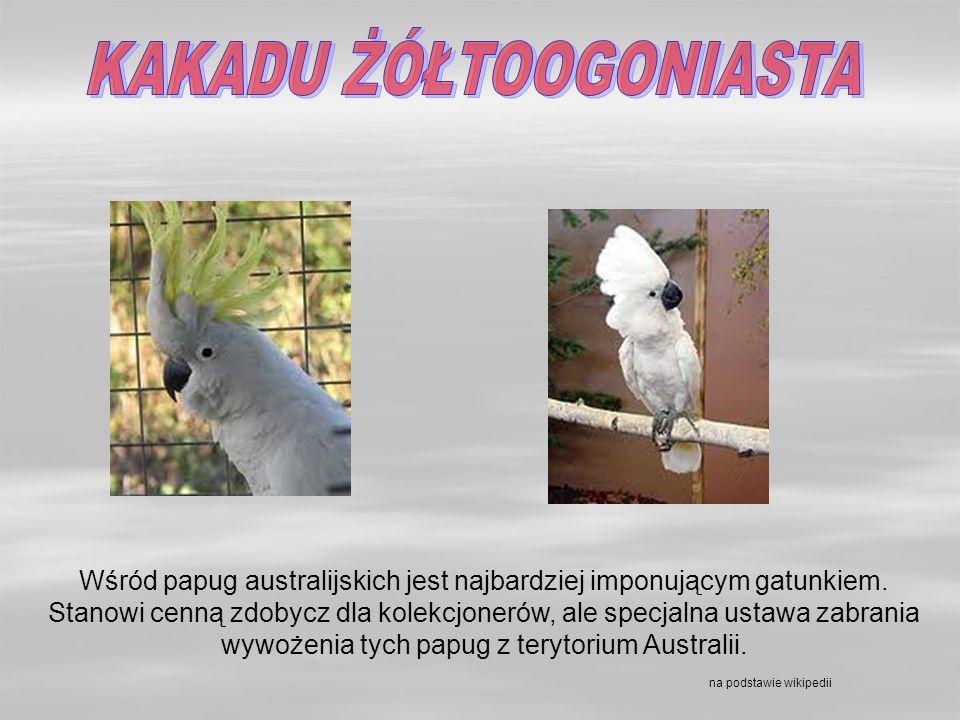 ZWIERZĘTA WYSTĘPUJĄCE W AUSTRALII KOALA Ten śmieszny i przemiły torbacz - niedźwiadek jest długości 60-80 cm.
