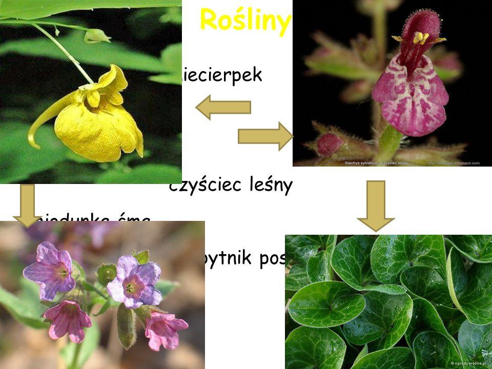 garb lipa chmiel zwyczajny I wiele innych wspaniałych roślin powrót