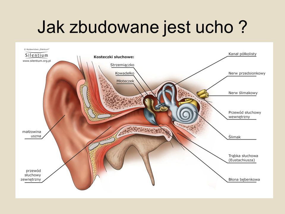 Jak zbudowane jest ucho ?