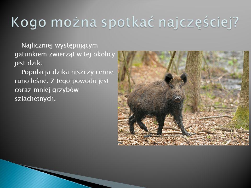 Najliczniej występującym gatunkiem zwierząt w tej okolicy jest dzik.
