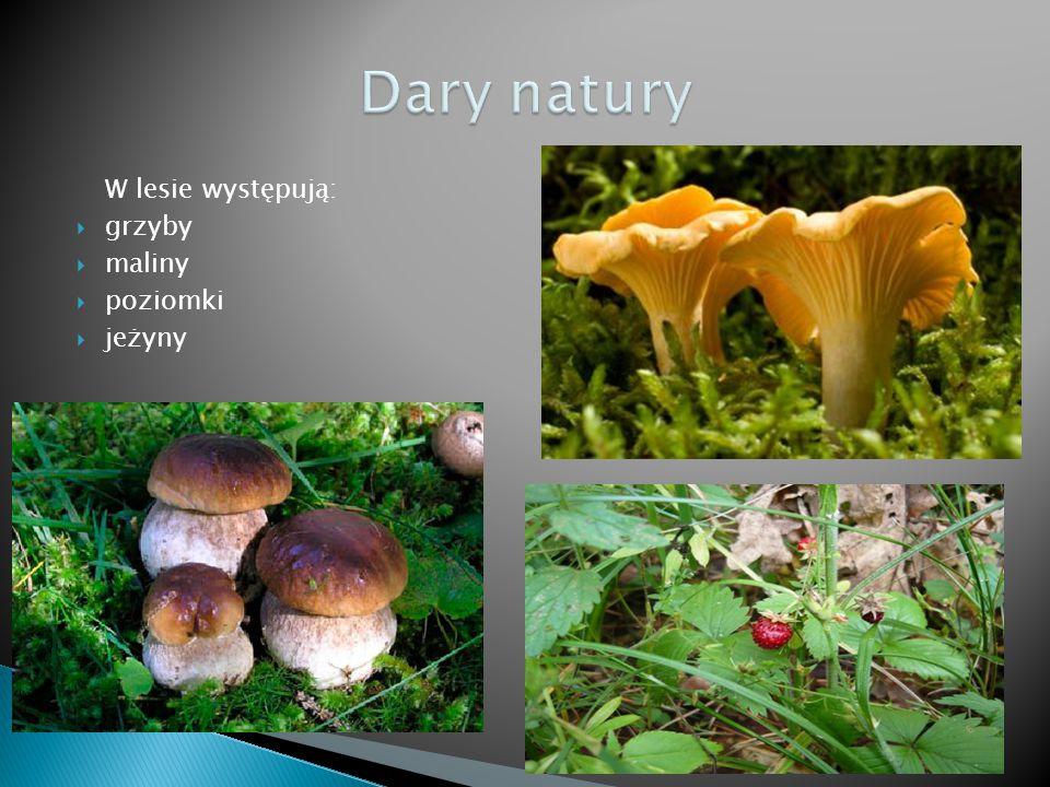 W lesie występują:  grzyby  maliny  poziomki  jeżyny