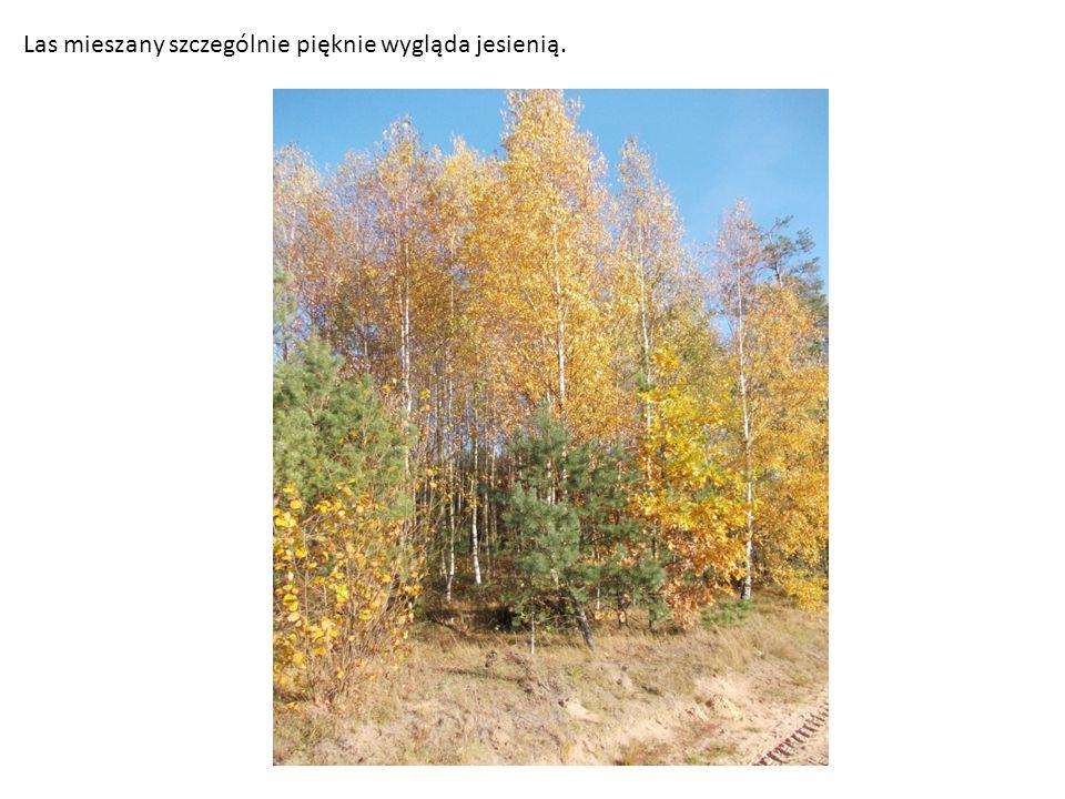 Las mieszany szczególnie pięknie wygląda jesienią.