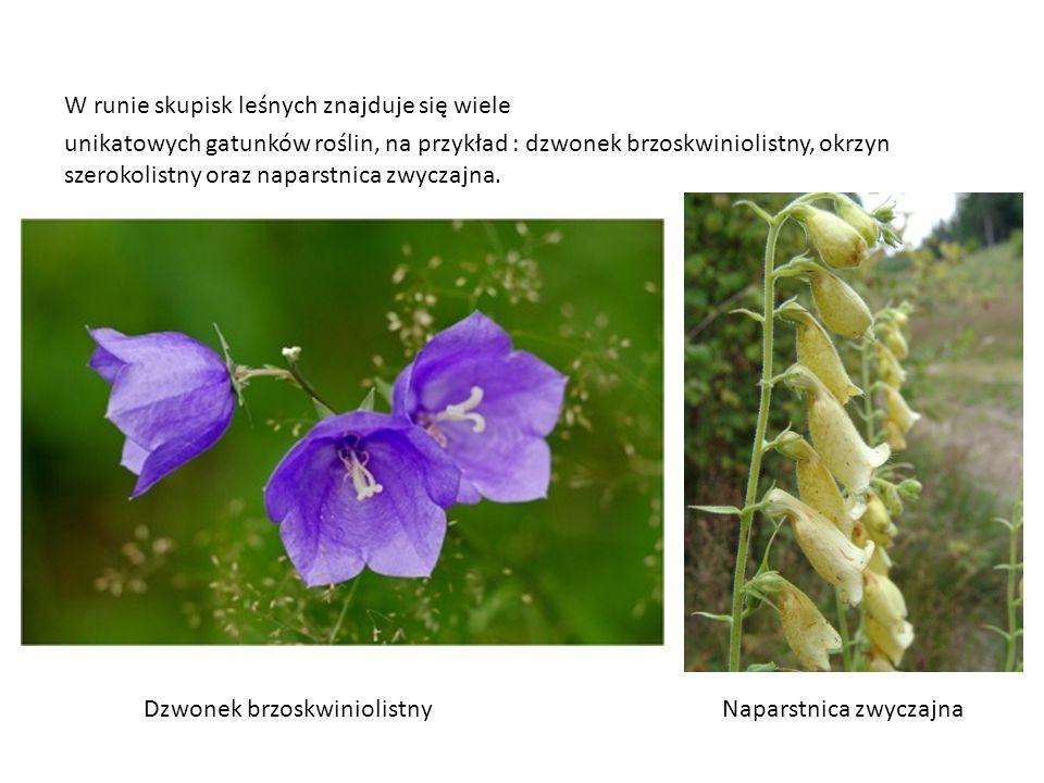 W runie skupisk leśnych znajduje się wiele unikatowych gatunków roślin, na przykład : dzwonek brzoskwiniolistny, okrzyn szerokolistny oraz naparstnica zwyczajna.