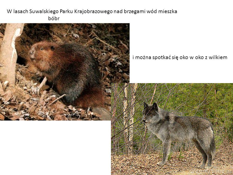 W lasach Suwalskiego Parku Krajobrazowego nad brzegami wód mieszka bóbr i można spotkać się oko w oko z wilkiem