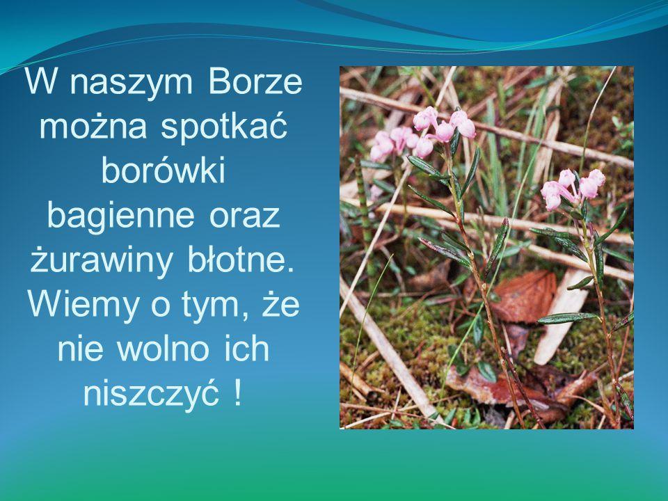 W naszym Borze można spotkać borówki bagienne oraz żurawiny błotne. Wiemy o tym, że nie wolno ich niszczyć !