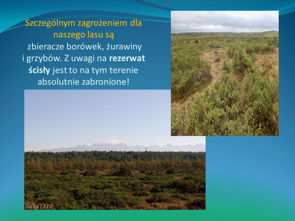 Szczególnym zagrożeniem dla naszego lasu są zbieracze borówek, żurawiny i grzybów. Z uwagi na rezerwat ścisły jest to na tym terenie absolutnie zabron