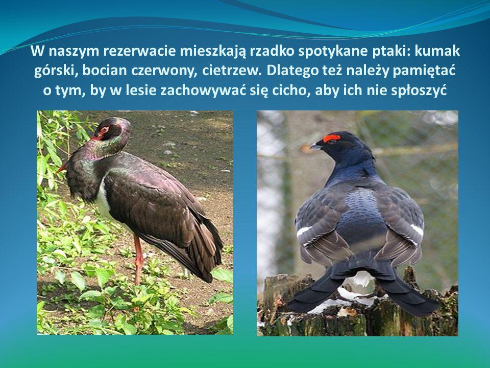 W naszym rezerwacie mieszkają rzadko spotykane ptaki: kumak górski, bocian czerwony, cietrzew.