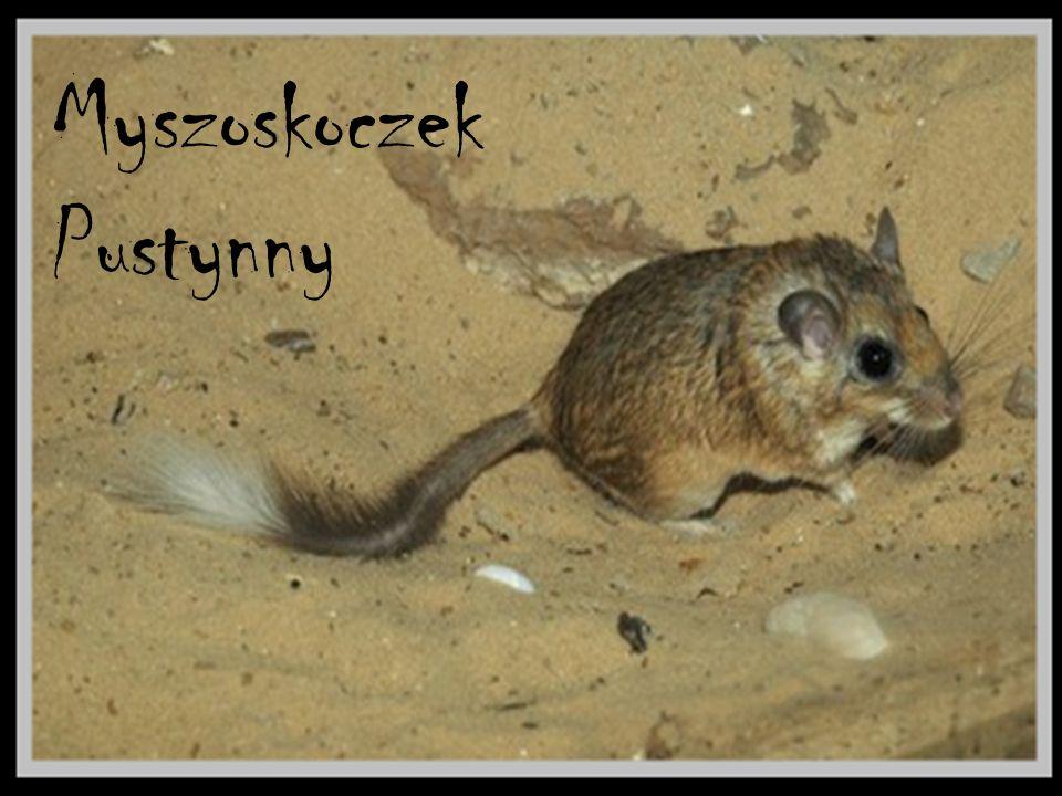 Myszoskoczek Pustynny