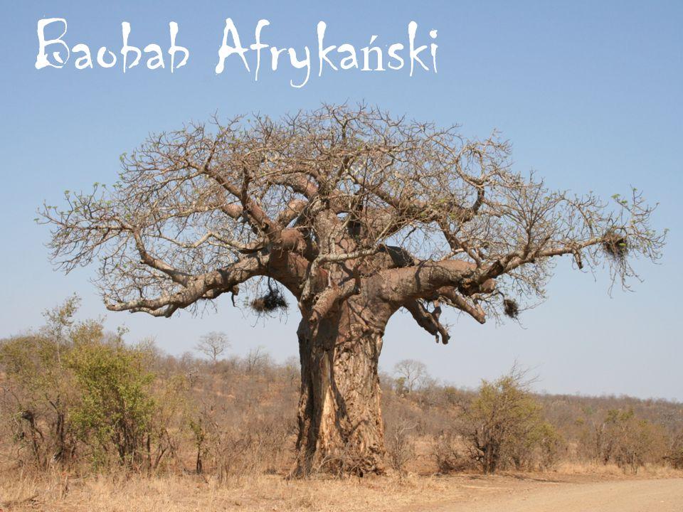 Baobab Afryka ń ski