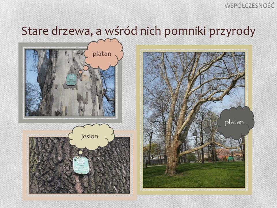 Stare drzewa, a wśród nich pomniki przyrody WSPÓŁCZESNOŚĆ platan jesion platan