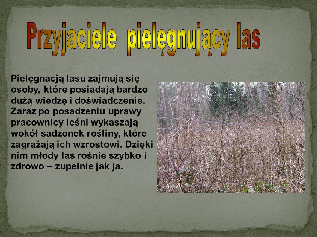Pielęgnacją lasu zajmują się osoby, które posiadają bardzo dużą wiedzę i doświadczenie. Zaraz po posadzeniu uprawy pracownicy leśni wykaszają wokół sa