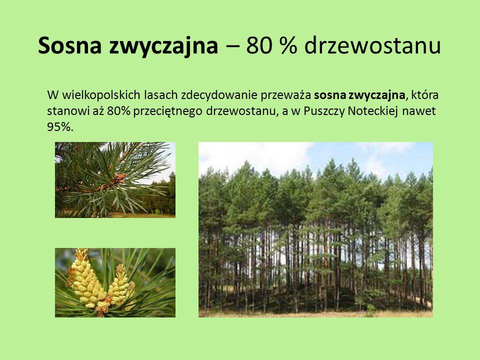 Sosna zwyczajna – 80 % drzewostanu W wielkopolskich lasach zdecydowanie przeważa sosna zwyczajna, która stanowi aż 80% przeciętnego drzewostanu, a w P