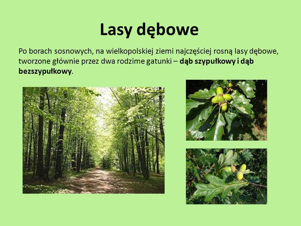 Lasy dębowe Po borach sosnowych, na wielkopolskiej ziemi najczęściej rosną lasy dębowe, tworzone głównie przez dwa rodzime gatunki – dąb szypułkowy i