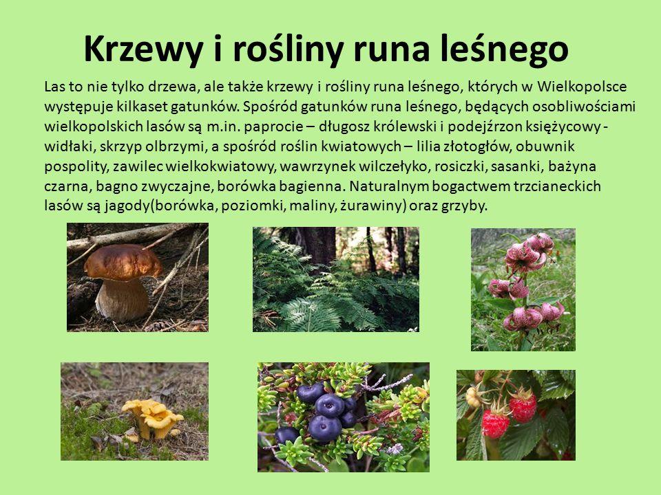 Krzewy i rośliny runa leśnego Las to nie tylko drzewa, ale także krzewy i rośliny runa leśnego, których w Wielkopolsce występuje kilkaset gatunków. Sp