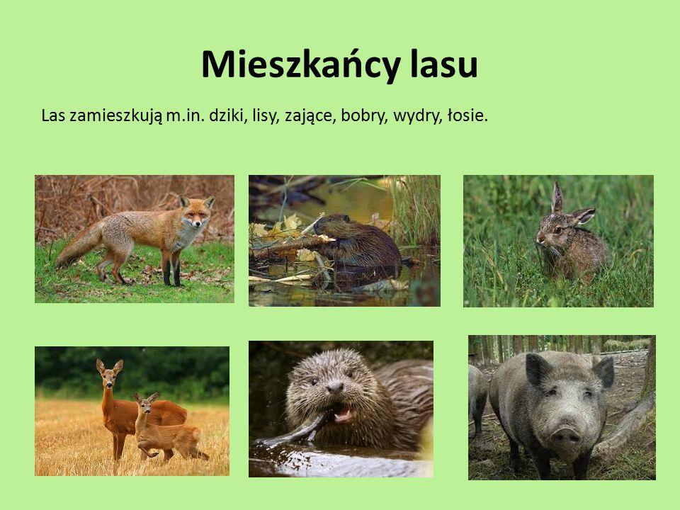 Mieszkańcy lasu Las zamieszkują m.in. dziki, lisy, zające, bobry, wydry, łosie.