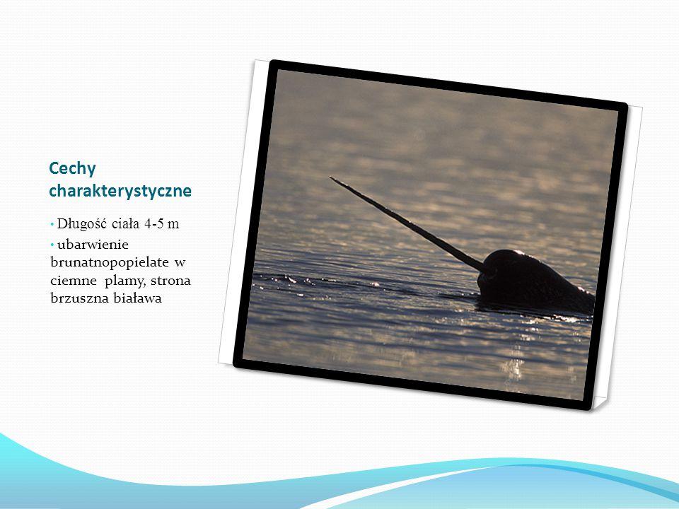 Narwal (informacje ogólne) Ssak z podrzędu waleniowatych żyjący w wodach strefy arktycznej. Jego cechą charakterystyczną jest pojedynczy, spiralnie sk