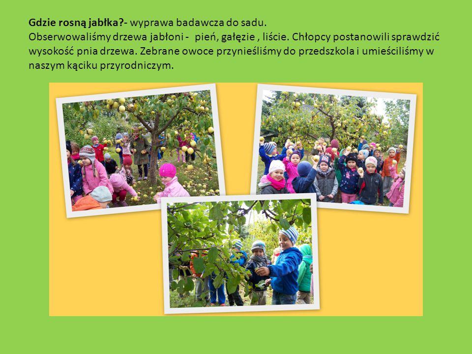 Gdzie rosną jabłka?- wyprawa badawcza do sadu. Obserwowaliśmy drzewa jabłoni - pień, gałęzie, liście. Chłopcy postanowili sprawdzić wysokość pnia drze