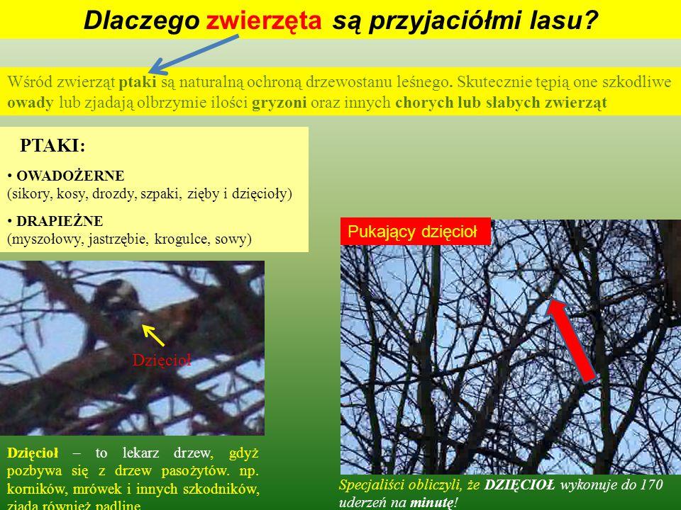 Dlaczego zwierzęta są przyjaciółmi lasu? Mrówki nazywane są policją lasu, ponieważ spełniają rolę porządkującą usuwając padlinę oraz małe chore osobni