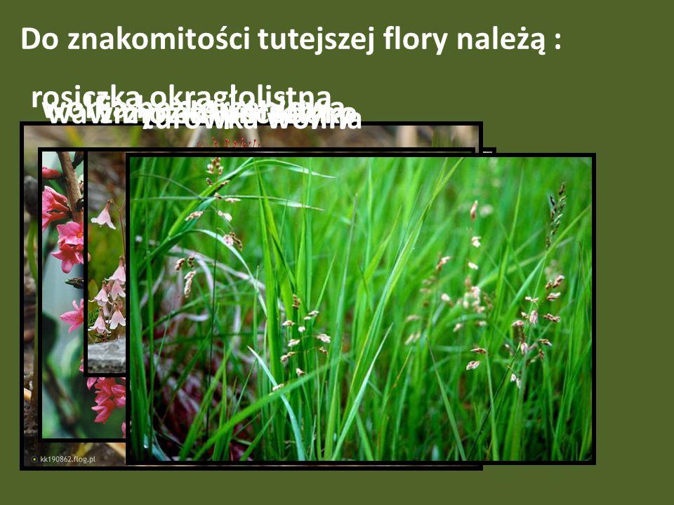 Do znakomitości tutejszej flory należą : wolfia bezkorzeniowa, rosiczka okrągłolistna wawrzynek wilczełykozimoziół północny turówka wonna