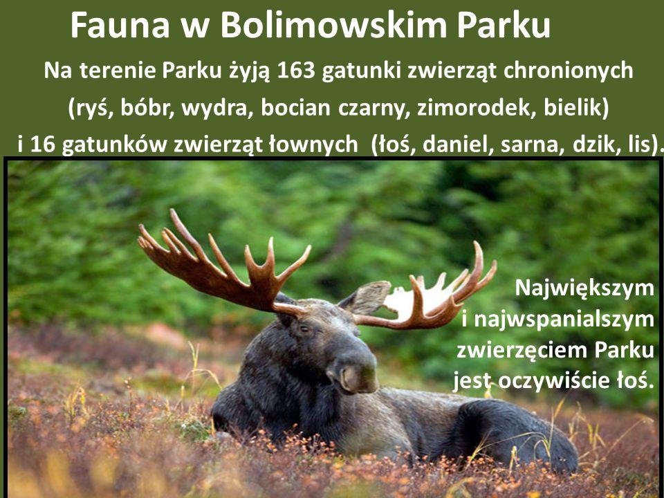 Fauna w Bolimowskim Parku Na terenie Parku żyją 163 gatunki zwierząt chronionych (ryś, bóbr, wydra, bocian czarny, zimorodek, bielik) i 16 gatunków zwierząt łownych (łoś, daniel, sarna, dzik, lis).