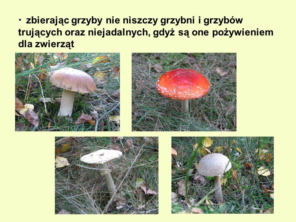 zbierając grzyby nie niszczy grzybni i grzybów trujących oraz niejadalnych, gdyż są one pożywieniem dla zwierząt