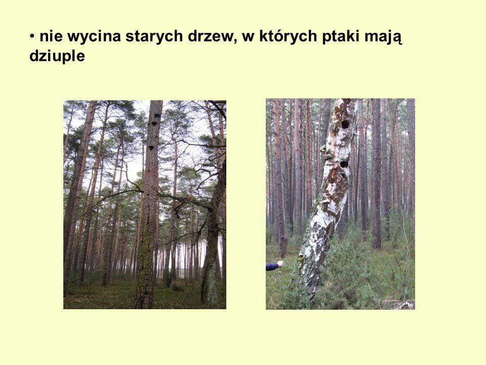 nie wycina starych drzew, w których ptaki mają dziuple