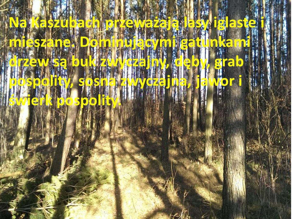 Na Kaszubach przeważają lasy iglaste i mieszane. Dominującymi gatunkami drzew są buk zwyczajny, dęby, grab pospolity, sosna zwyczajna, jawor i świerk