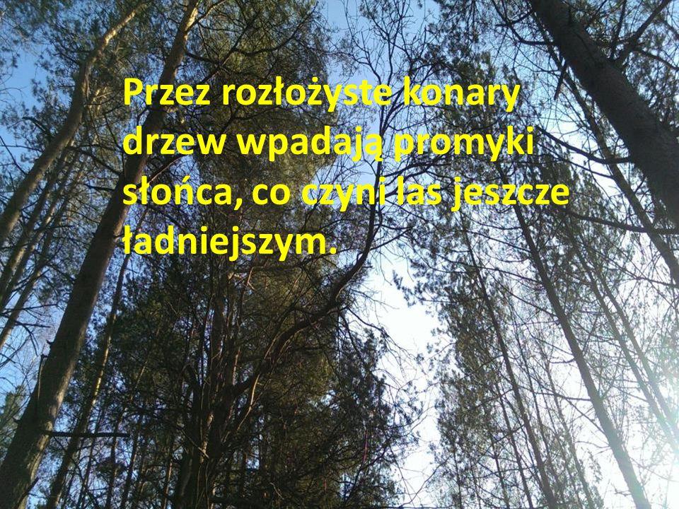 Przez rozłożyste konary drzew wpadają promyki słońca, co czyni las jeszcze ładniejszym.