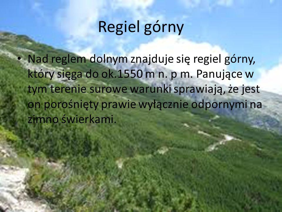 Regiel górny Nad reglem dolnym znajduje się regiel górny, który sięga do ok.1550 m n. p m. Panujące w tym terenie surowe warunki sprawiają, że jest on