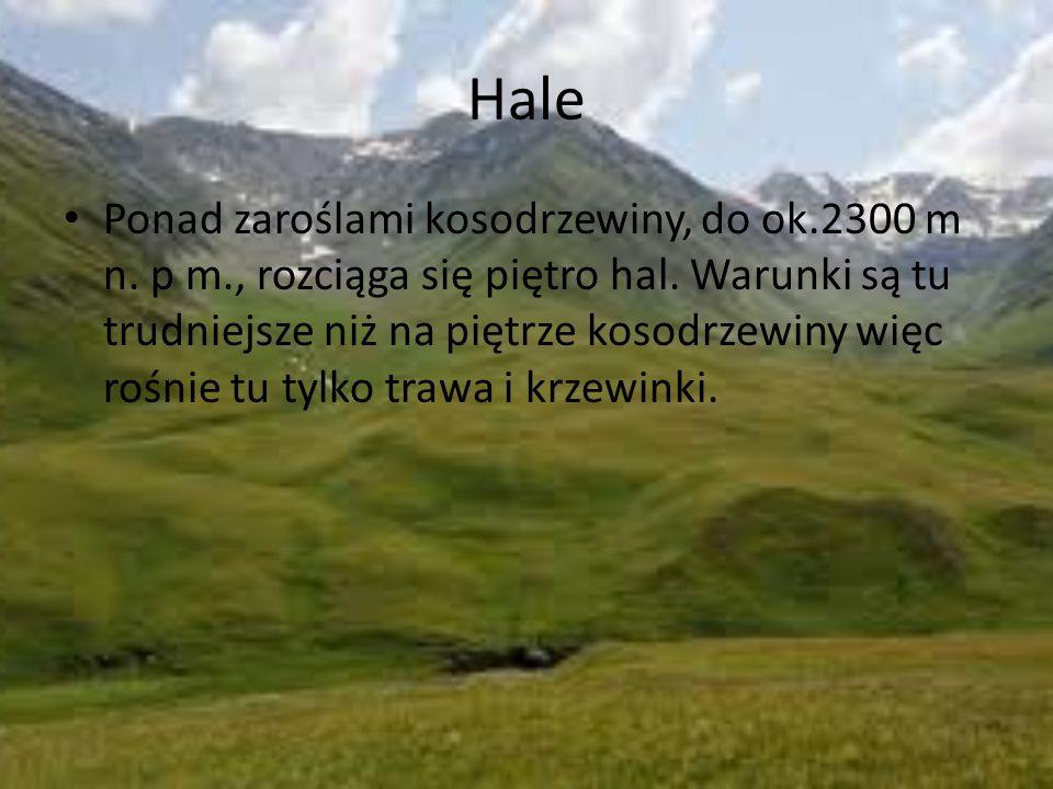 Hale Ponad zaroślami kosodrzewiny, do ok.2300 m n. p m., rozciąga się piętro hal. Warunki są tu trudniejsze niż na piętrze kosodrzewiny więc rośnie tu