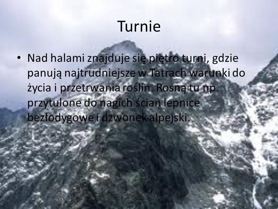 Turnie Nad halami znajduje się piętro turni, gdzie panują najtrudniejsze w Tatrach warunki do życia i przetrwania roślin. Rosną tu np. przytulone do n