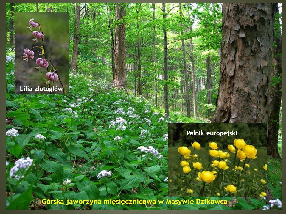 Siedlisko żyzne buczyny W Masywie Dzikowca występują duże fragmenty żyznych lasów bukowych w podtypie żyznej buczyny górskiej.