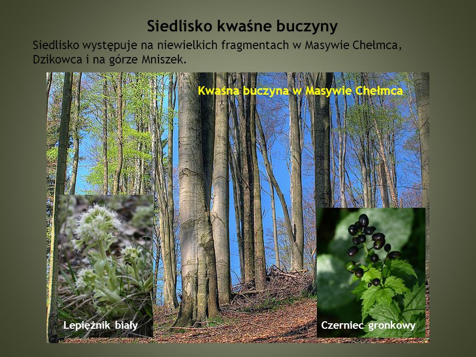 Siedlisko kwaśne buczyny Siedlisko występuje na niewielkich fragmentach w Masywie Chełmca, Dzikowca i na górze Mniszek.
