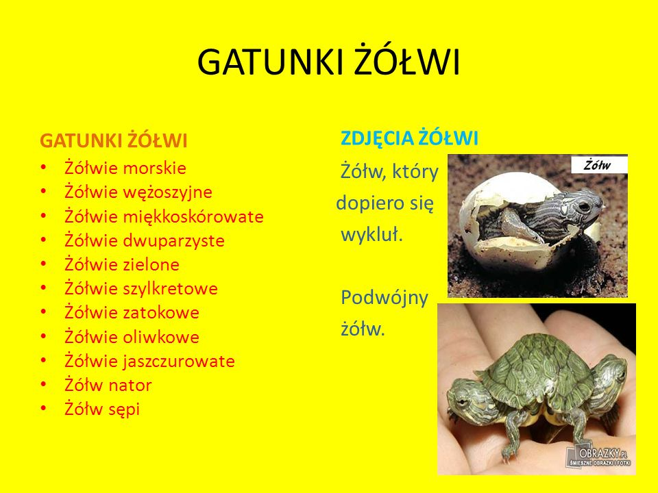 GATUNKI ŻÓŁWI Żółwie morskie Żółwie wężoszyjne Żółwie miękkoskórowate Żółwie dwuparzyste Żółwie zielone Żółwie szylkretowe Żółwie zatokowe Żółwie oliwkowe Żółwie jaszczurowate Żółw nator Żółw sępi ZDJĘCIA ŻÓŁWI Żółw, który dopiero się wykluł.