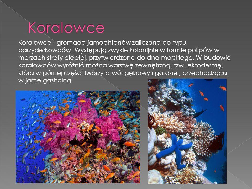 Koralowce - gromada jamochłonów zaliczana do typu parzydełkowców. Występują zwykle kolonijnie w formie polipów w morzach strefy ciepłej, przytwierdzon