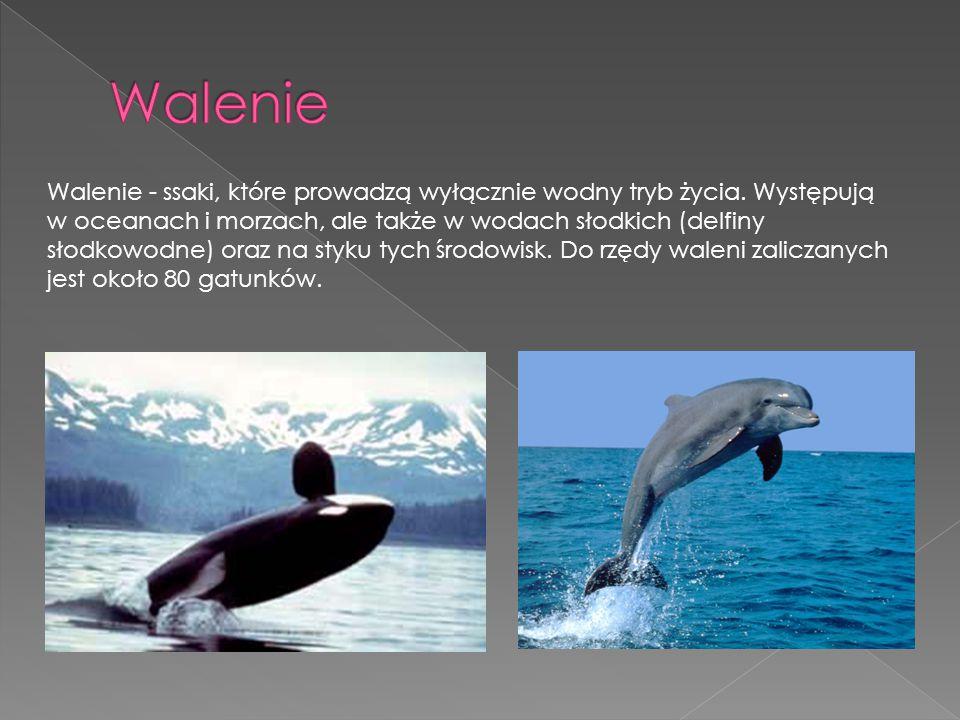 Walenie - ssaki, które prowadzą wyłącznie wodny tryb życia. Występują w oceanach i morzach, ale także w wodach słodkich (delfiny słodkowodne) oraz na
