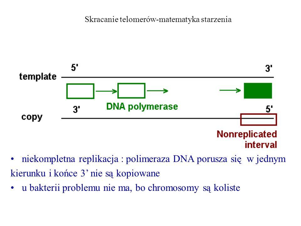 Skracanie telomerów-matematyka starzenia niekompletna replikacja : polimeraza DNA porusza się w jednym kierunku i końce 3' nie są kopiowane u bakterii problemu nie ma, bo chromosomy są koliste