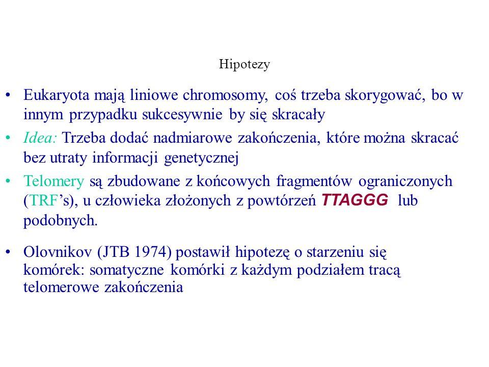 Hipotezy Eukaryota mają liniowe chromosomy, coś trzeba skorygować, bo w innym przypadku sukcesywnie by się skracały Idea: Trzeba dodać nadmiarowe zakończenia, które można skracać bez utraty informacji genetycznej Telomery są zbudowane z końcowych fragmentów ograniczonych (TRF's), u człowieka złożonych z powtórzeń TTAGGG lub podobnych.