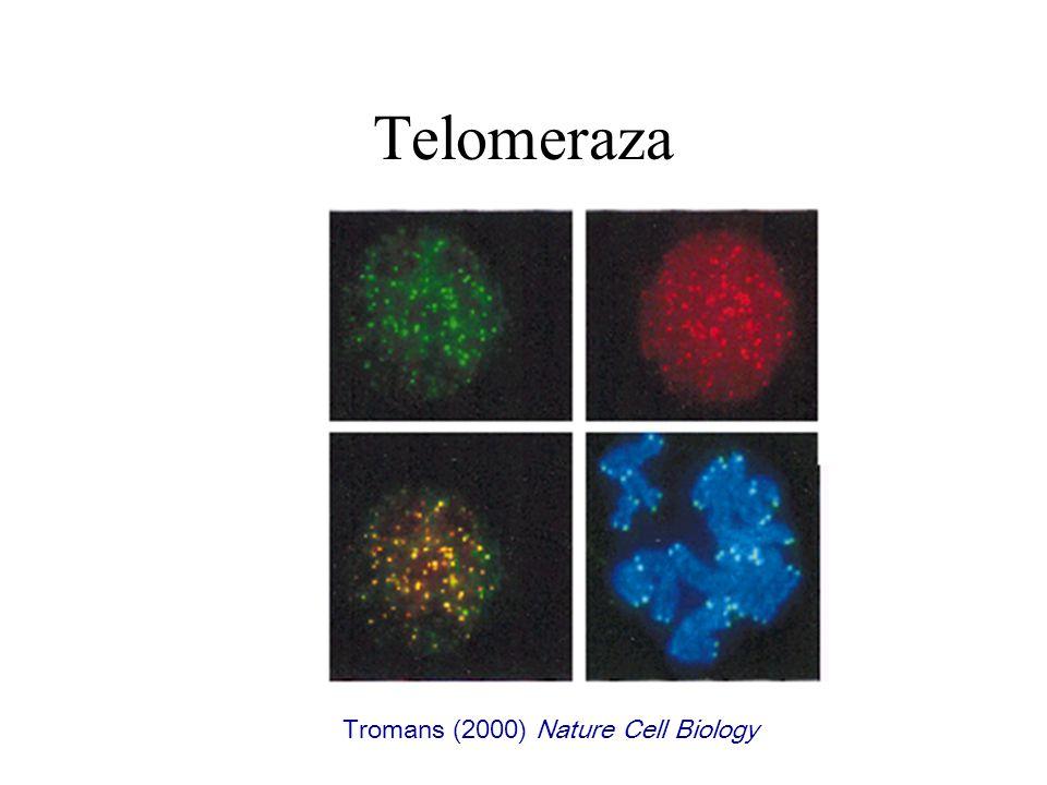 Telomeraza Tromans (2000) Nature Cell Biology
