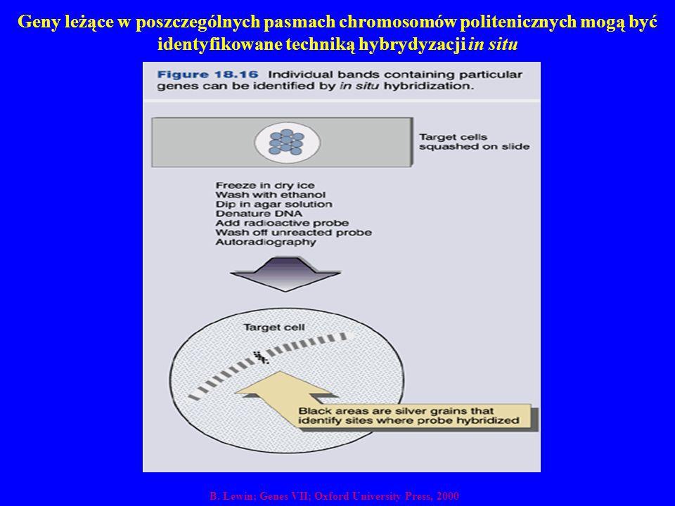 Geny leżące w poszczególnych pasmach chromosomów politenicznych mogą być identyfikowane techniką hybrydyzacji in situ B. Lewin; Genes VII; Oxford Univ