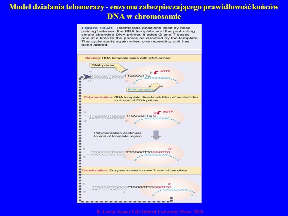 Model działania telomerazy - enzymu zabezpieczającego prawidłowość końców DNA w chromosomie B. Lewin; Genes VII; Oxford University Press, 2000