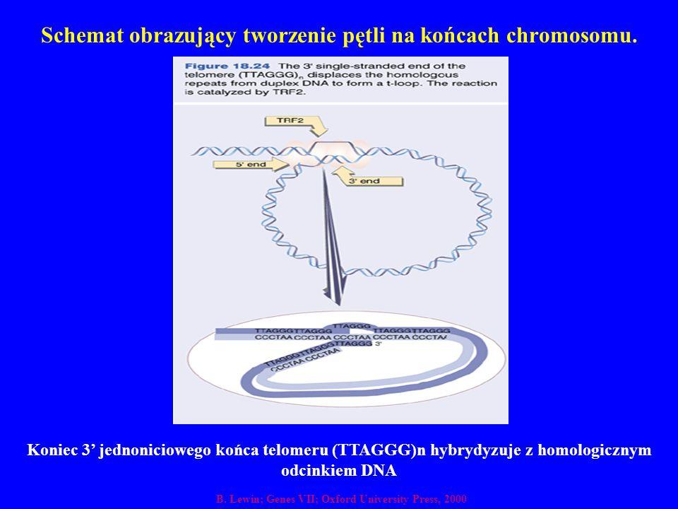 Schemat obrazujący tworzenie pętli na końcach chromosomu. B. Lewin; Genes VII; Oxford University Press, 2000 Koniec 3' jednoniciowego końca telomeru (