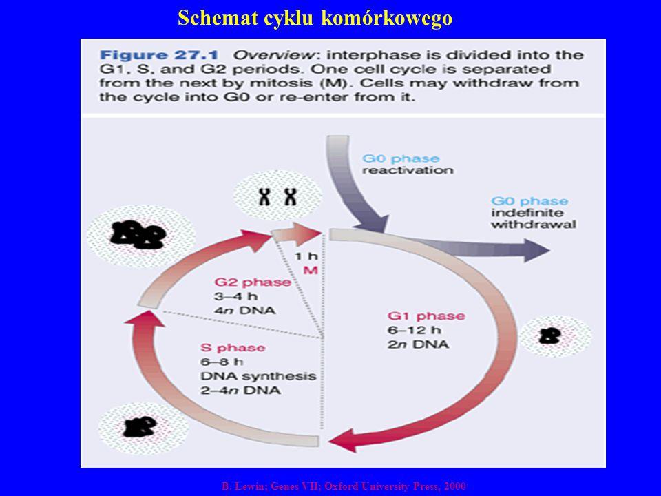 Schemat cyklu komórkowego B. Lewin; Genes VII; Oxford University Press, 2000
