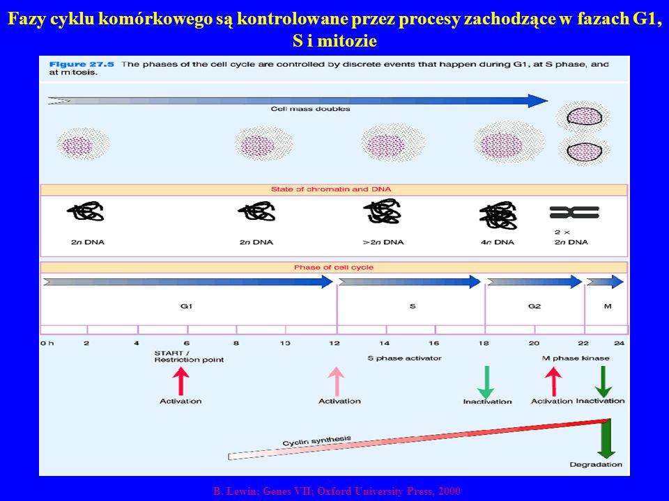 Fazy cyklu komórkowego są kontrolowane przez procesy zachodzące w fazach G1, S i mitozie B. Lewin; Genes VII; Oxford University Press, 2000